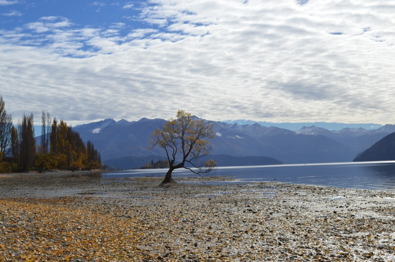 Lone tree of Wanaka in New Zealand